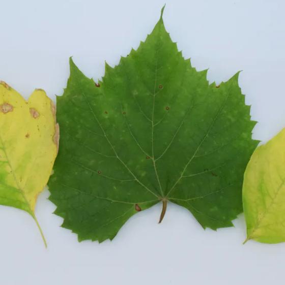 Plant health detector